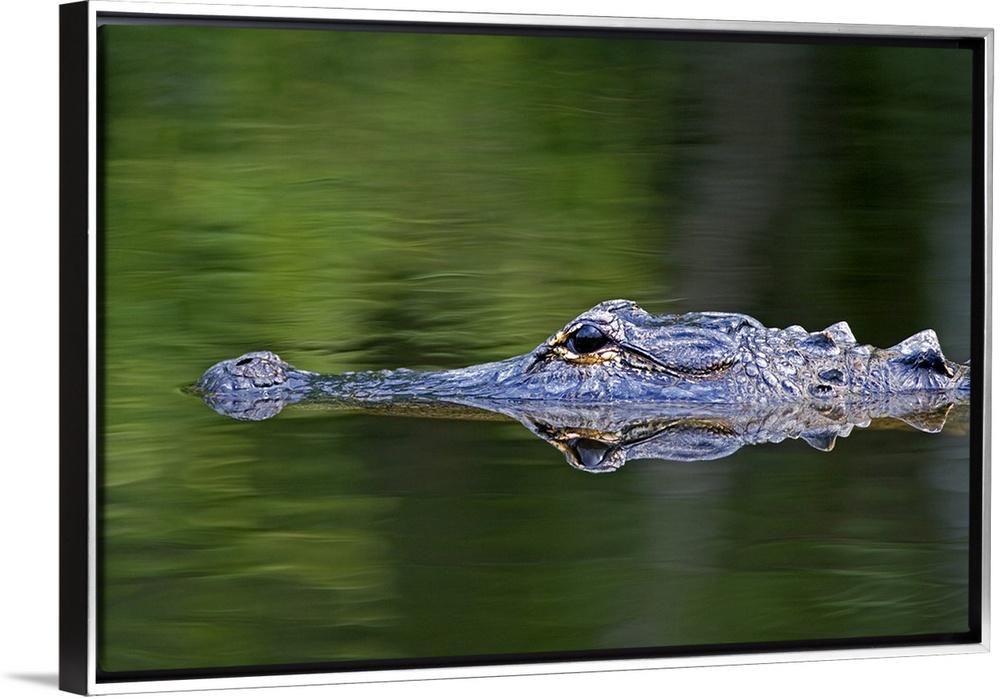 American Alligator in Everglades